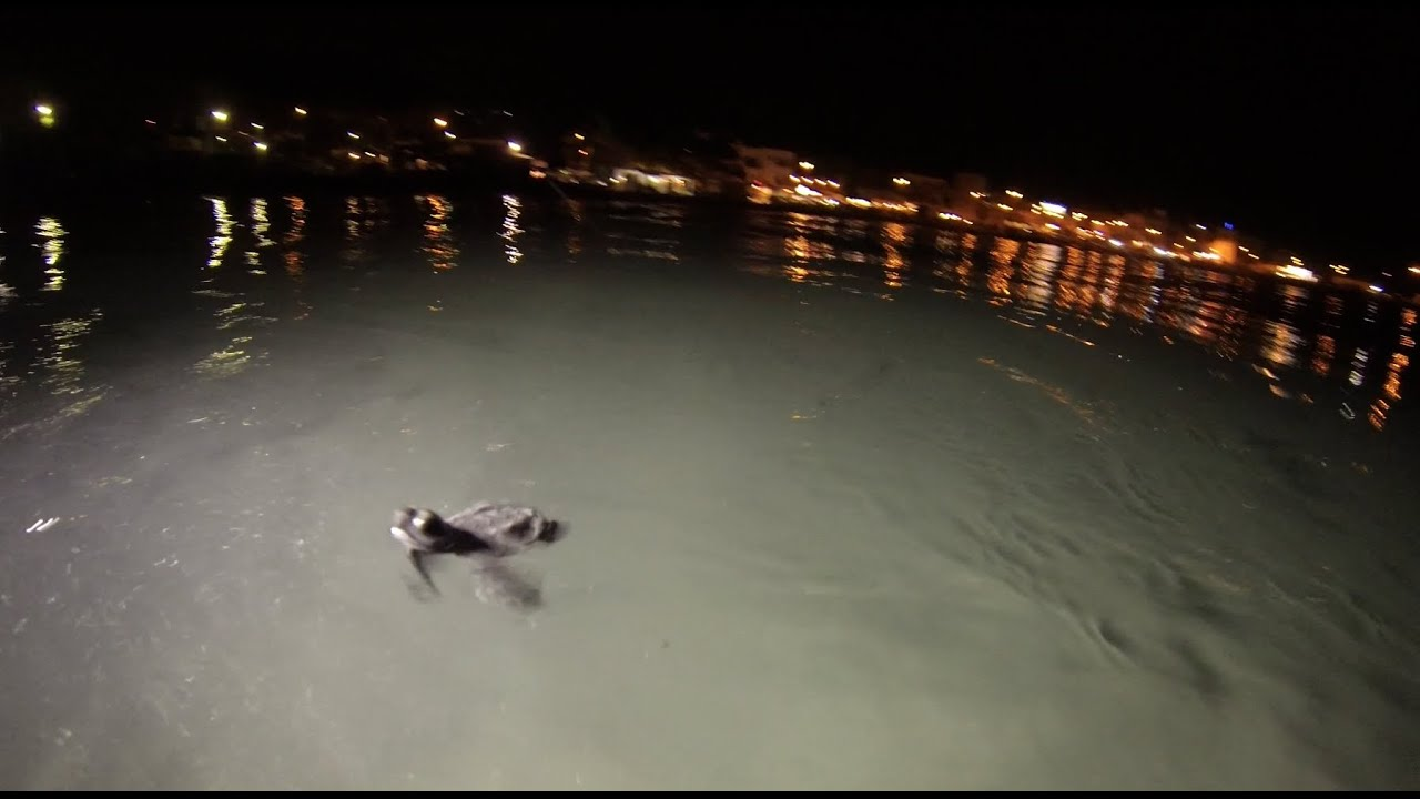 Tartarughe appena nate a mondello nuotano verso il largo for Tartarughe appena nate