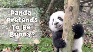 Baby Panda Just Starts Learning To Run | iPanda