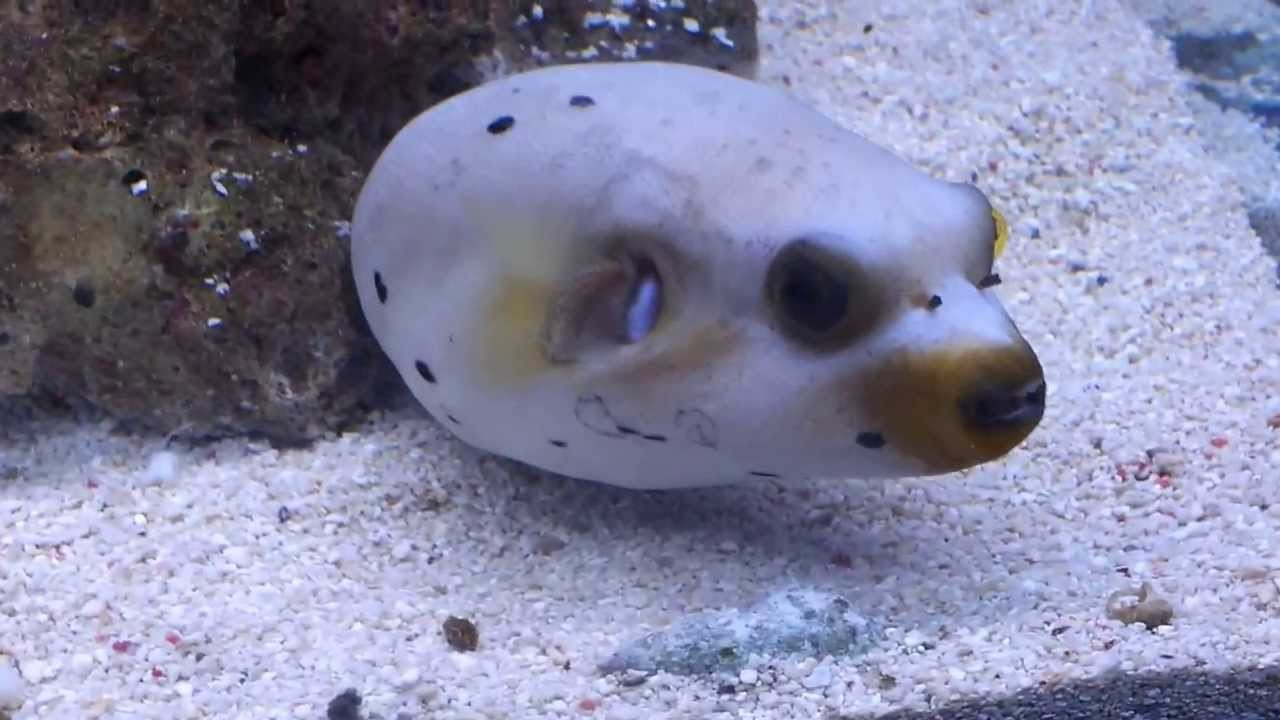 Dog faced puffer fish - YouTube
