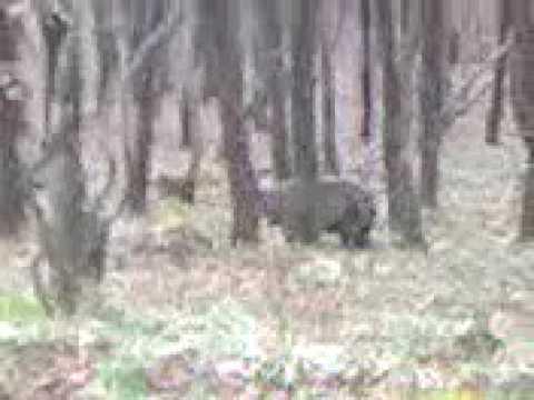 Video za lovac.ba Lov na medvjede