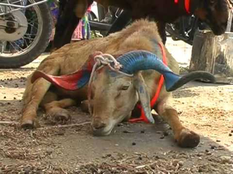 Goats brought for Eid Ul Adha Bakrid in 2014 In  Hyderabad -(ShoebUllah)