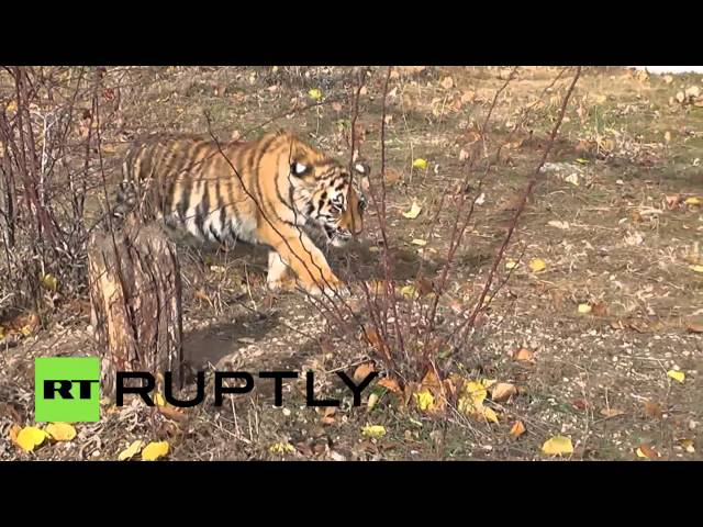 Russia: See Tiger cubs stalk and kill roosters