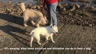 DOG AGGRESSIVE LABRADOODLE 1 WEEK LATER