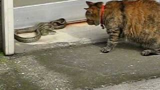 ネコとヘビの決闘The duel of the cat(name is MARO) and the snake(The name is unidentified.)