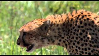 African Cats_ Never Get Fresh With An Ostrich - Clip