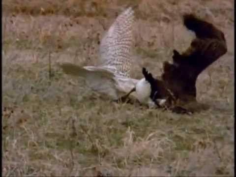 FALCON VS LARGE CANADA GOOSE