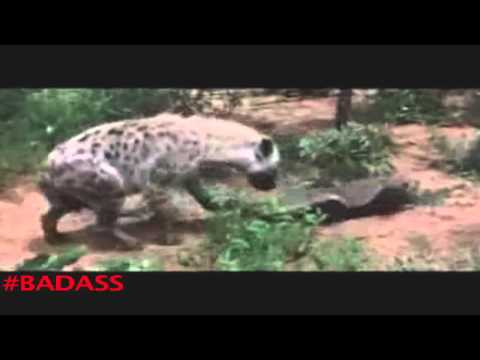 Honey Badger Narrates: The Nastyass Honey Badger & Honey Bird