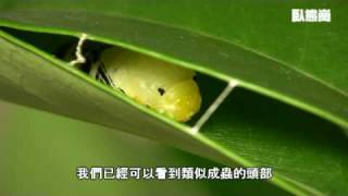 白傘弄蝶化蛹 Pupation of Pale Awlet (Version 2)