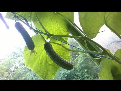 Выращиваем огурцы на балконе . 16 июня.
