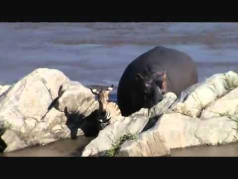 Hipopotamo SalvaVidas