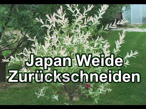 japan weide zur ckschneiden harlekin weide youtube. Black Bedroom Furniture Sets. Home Design Ideas