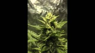 Dinafem white widow auto flower cannabis Day 63