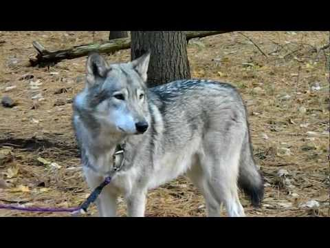 Cree The Timber Wolf Howling video