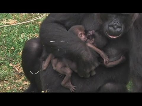 Baby gorillas: Twin gorillas born in a Dutch zoo