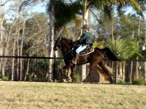 Fun, classy, stylish black Jazz Man Tennessee Walking Horse gelding for sale
