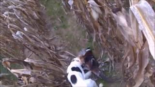 chasse du petits gibiers en 2016 avec LILI  , tirs de deux coqs a LUSSAC