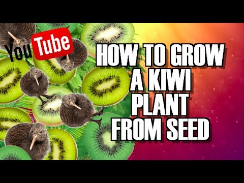 how to grow a kiwi tree from seed