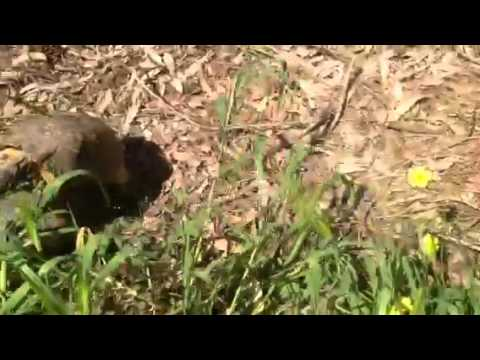 Tortoise mating sex like in Animal Planet!