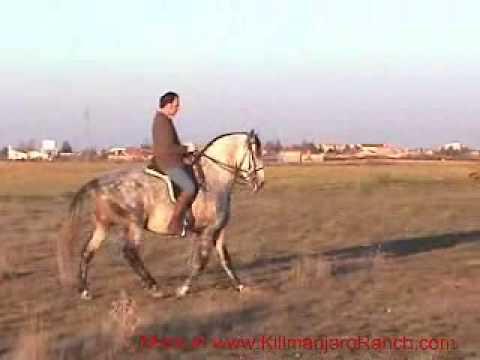 PRE Stallion ALBOROZO www.prehorse.info