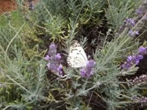 Belenois aurota, the Brown Veined Caper White Butterfly
