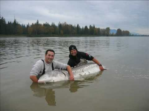 10ft Monster Sturgeon, Huge fish caught by Nick & George on Fraser River BC.  It really is massive!!