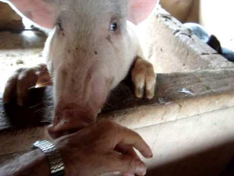 java porco branco