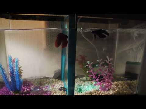5 gallon betta neon community fish tank how to save for Multiple betta fish tank