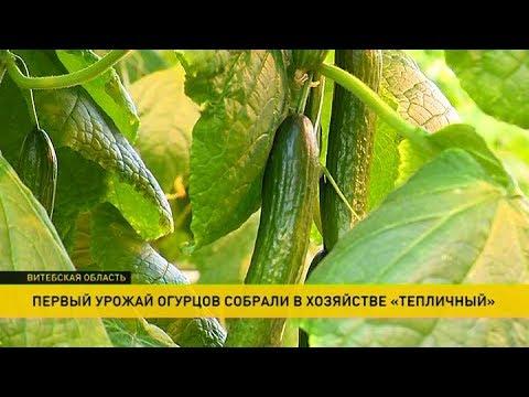 Январский урожай огурцов собрали в Оршанском районе