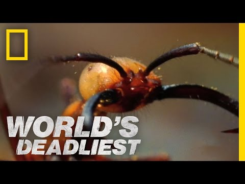 World's Deadliest - Army Ants Eat Everything