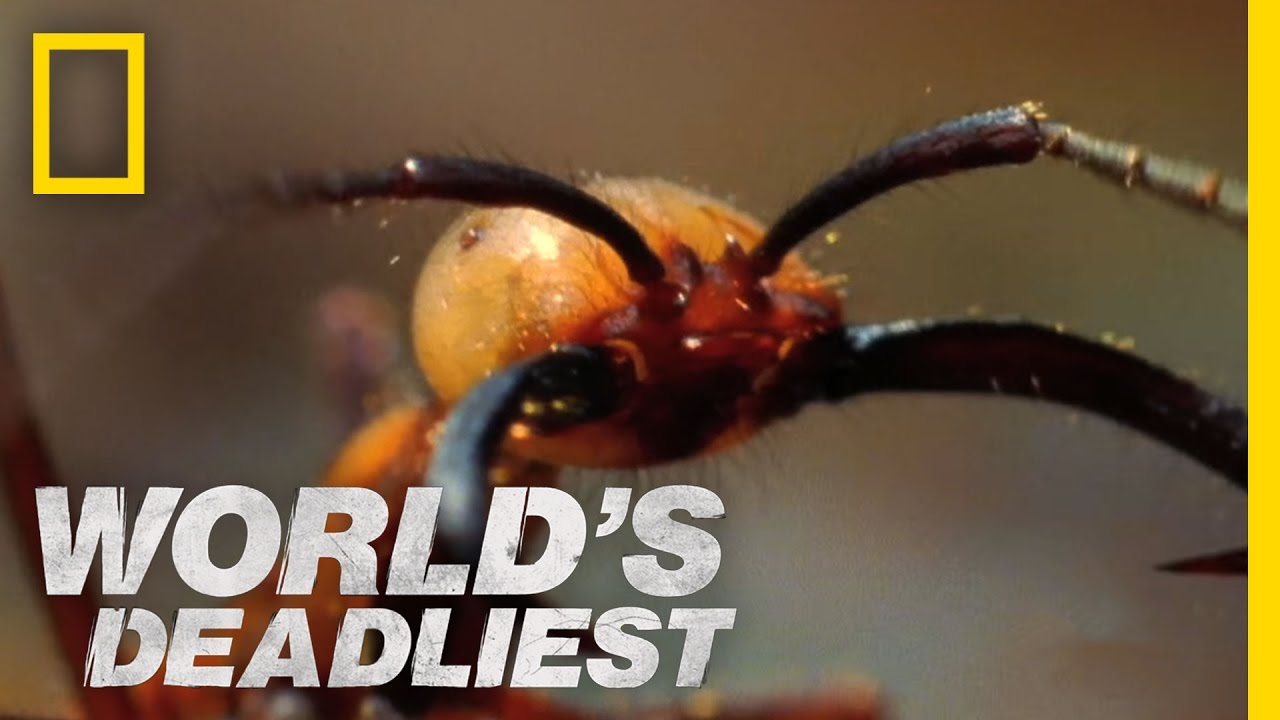 World's Deadliest - Army Ants Eat Everything - YouTube Army Ants Attacking