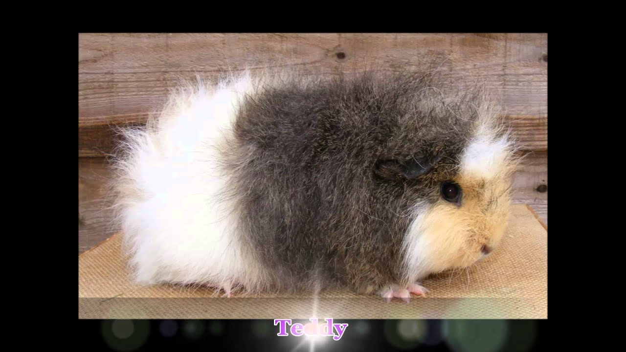 List of guinea pig breeds  Wikipedia