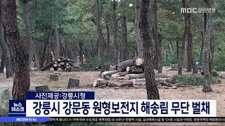 강릉 강문동 원형보전지 해송림 무단 벌채