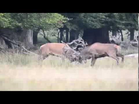 Denemarken Jaegersborg Edelherten gevecht - Red deer fight