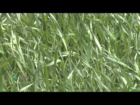 Fungicide Timings In Wheat #788 (Air Date 5/12/13)