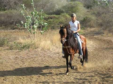 how to ride a paso fino horse