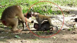Wow Awesome ! How Pigtail Save Her Baby From Fight  ST1249 Mono Monkey