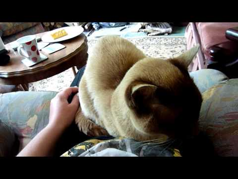 0 My Dad & His Burmese Cat Called Jack. Part 1. HD Video