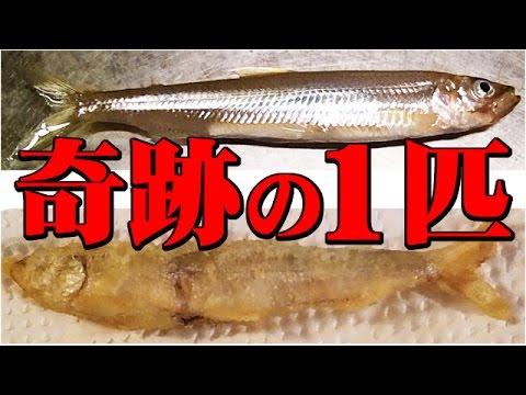 ワカサギを釣って食う 奇跡の1匹 River-fishing Catch & Eat
