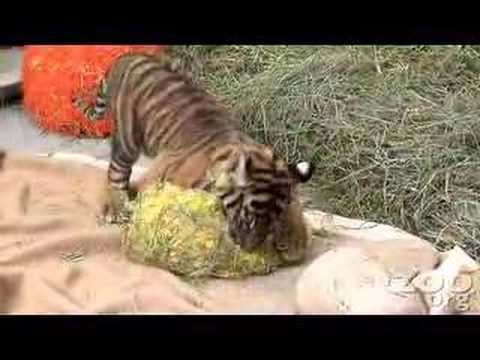 CUTEST baby tiger Video