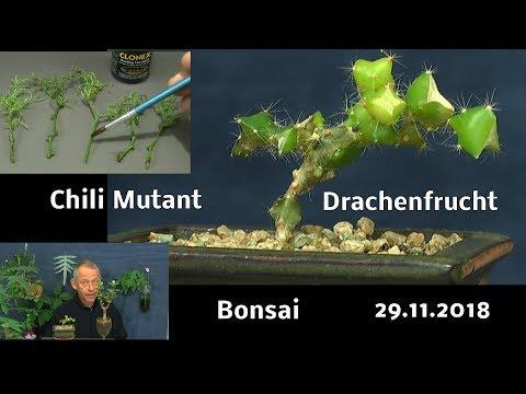 Stecklinge Chili mit Hormonen machen und Drachenfrucht Bonsai einpflanzen