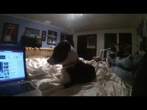 short haired border collie puppie , listening to wolf sounds