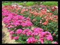 Rose Garden - Full of Beauty and... - Festival of Roses (California) ecards - Events Greeting Cards