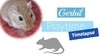 Gerbil Playtime | Time-lapse || My Animal World