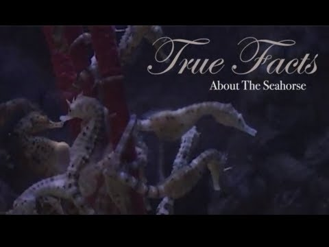 Thumbnail of video True Facts About The Seahorse