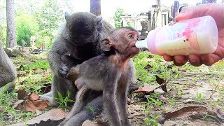 Feeding medicine with milk to Poor Lori/ Baby more seriously now Youlike Monkey 2041