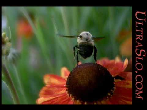 Buzzz another bee taking flight in UltraSlo slow motion