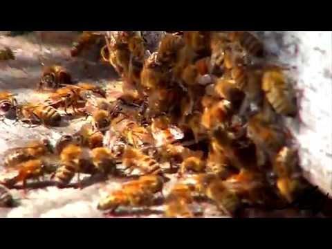 Honeybees Up Close - Sony Macro -  YouTube