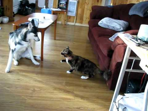 Killer Kitty Attacks Husky