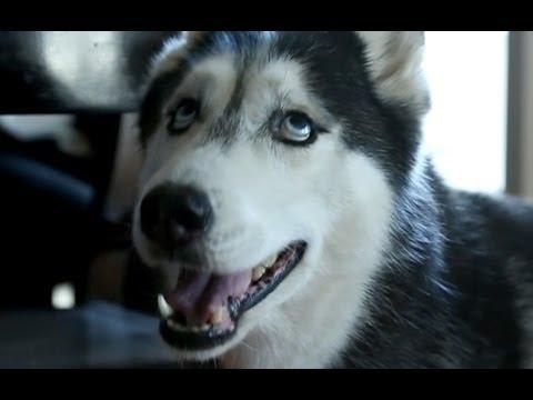 Husky Dog Says I Love You Video