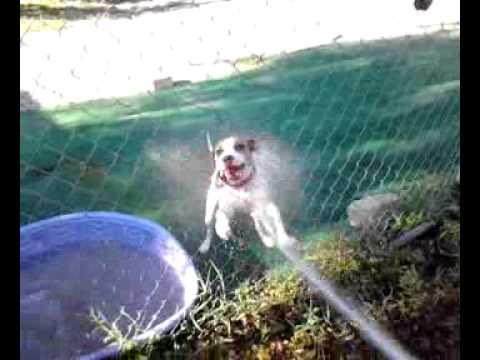 Pitbull Loves Doggie Day Care